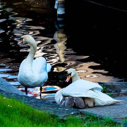 swans15.5.17a