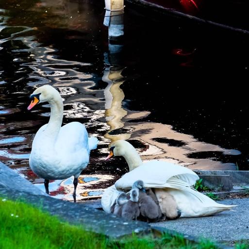 swans15.5.17b