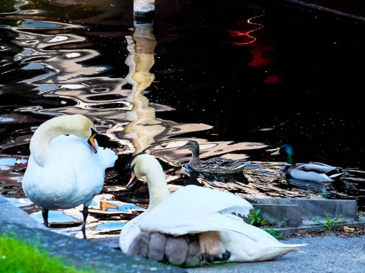 swans15.5.17g